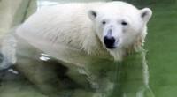 Белая медведица проплыла 690 километров
