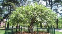 Ньютоновскую яблоню под охрану