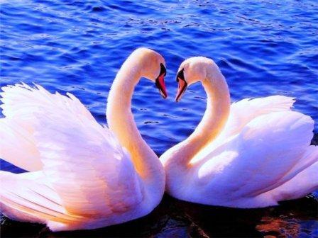 Лебеди - символ верности